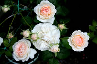 Some almost-white roses