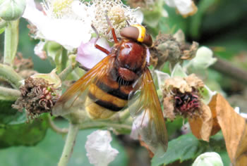 Volucella Zonaria - a fly disguised as a hornet!