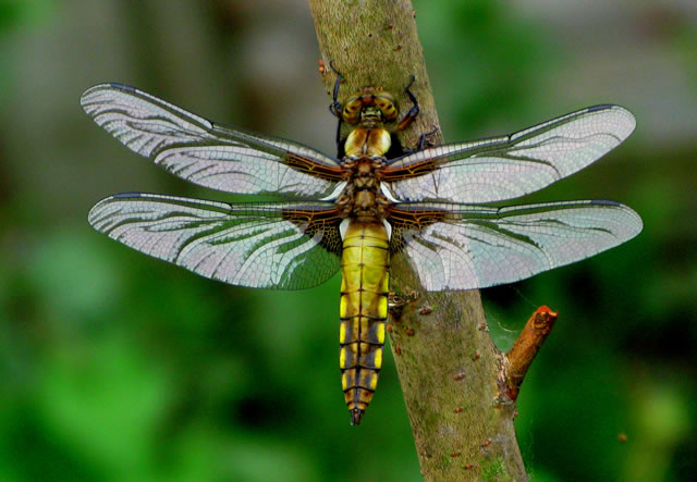 A bright yellow dragonfly
