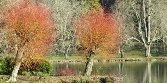 Pollarded Scarlet Willows at Stourhead