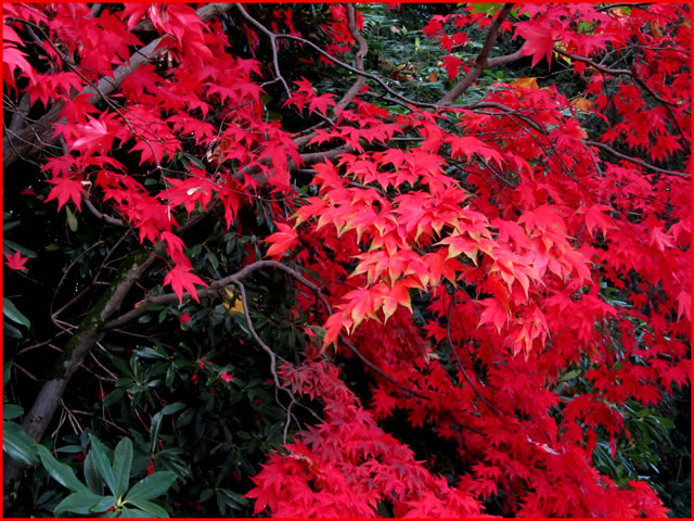 Scarlet leaves