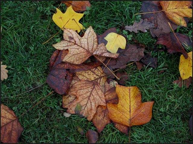 Autumn leaves, fallen on the grass
