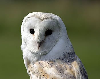 Barn Owl - Photograph copyright Darin Smith