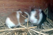 Baby Guinea Pigs Stolen from Balsam Fields