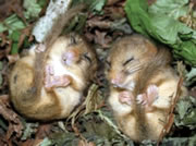 Somerset Wildlife Trust Talk: 'The Hunt for the Stourhead Dormouse'