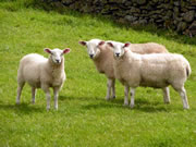 Large Number of Templecombe Sheep Killed in Animal Attack