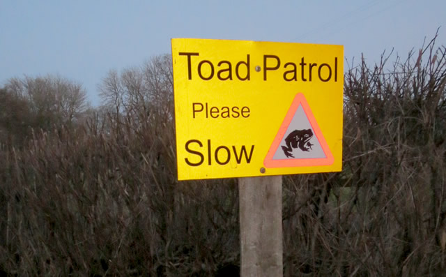 toad patrol volunteers near hardway protect toads on the road