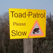 Toad Patrol – Volunteers Near Hardway Protect Toads on the Road