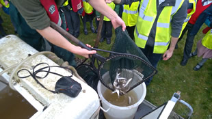 Filling a bucket with more fish to release further along the river