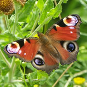 A Butterfly Summer: Monitoring Butterflies at Carymoor
