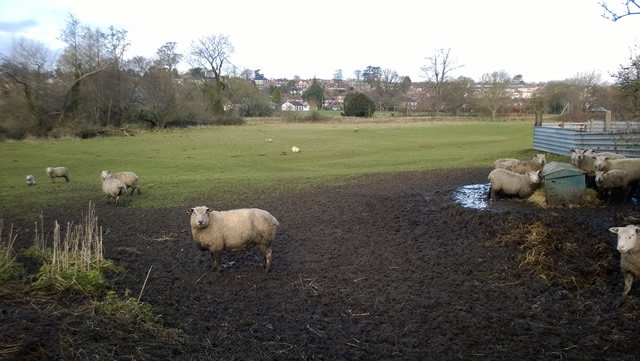 The sheep field adjacent to Cale Park