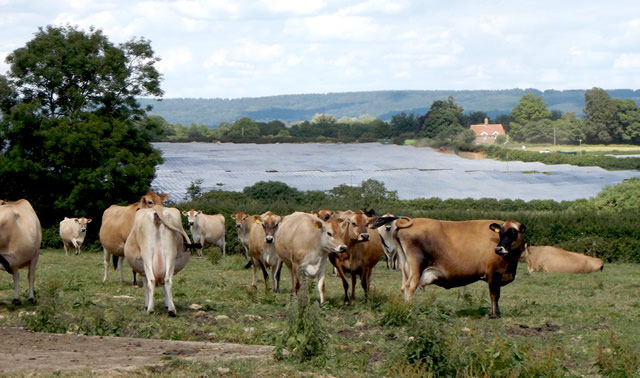 The beautiful Elliscombe Farm Jersey herd overlooking the Hook Valley solar farm