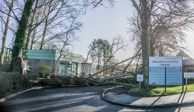 The poplar tree felled by strong wind at Wincanton Community Hospital