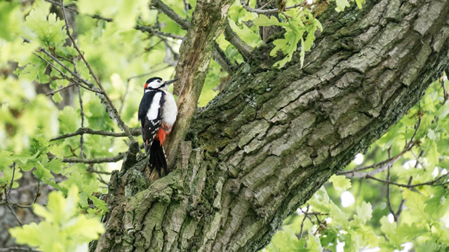 The Cale Park lesser spotted woodpecker